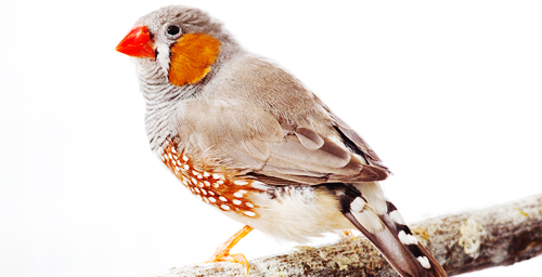 The zebra finch is a model for studies of changes in the brain in response to social cues.