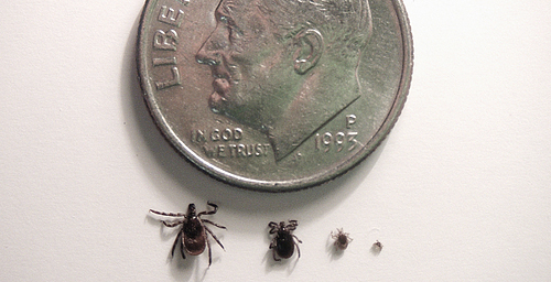 "The Lyme disease tick, seen here in its larval, nymph and adult forms, is advancing across ""the prairie state."""
