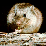 A new study found a potential new reservoir of Lyme disease: the prairie vole (Microtus ochrogaster).