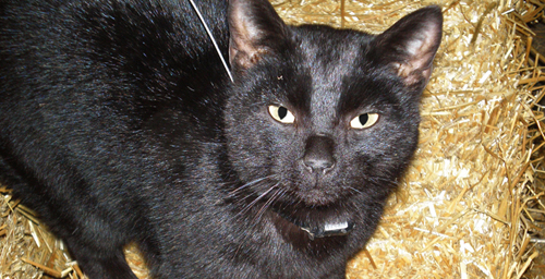 The cats were fitted with radio collars and tracked over two years. Some of the collars also had devices that continuously monitored the cats' every move. This un-owned cat was one of those tracked.