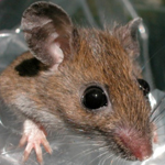 Watch a slide show about the study, which found that animals that inhabit relatively small territories, such as this white-footed mouse, are good sentinels of disease in a natural area.