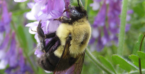 Bombus impatiens was one of the nine species of bees the researchers sequenced.