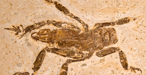 A fossil found in northeastern Brazil confirmed that the splay-footed cricket of today has at least a 100 million-year-old pedigree.