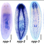 The researchers traced expression of 51 prohormone genes in different tissues throughout the planarian body. One of these genes, known as npy-8, appears to promote the development and maintenance of the worm's reproductive organs.