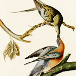 The extinct passenger pigeon, Ectopistes migratorius, was the only species in its genus.
