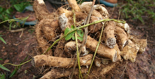 "Wild yam is among the many plants and plant extracts sold as ""natural"" treatments for the relief of menopausal symptoms."