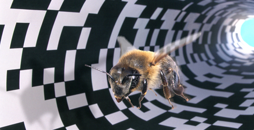 Researchers can trick a honey bee into thinking she has traveled a longer or shorter distance through a tunnel that leads to a food source by varying the pattern on the tunnel walls. A busy pattern, as seen here, is perceived as a longer distance than a sparse pattern.
