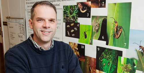 Joseph Spencer, an insect behaviorist at the Illinois Natural History Survey, and his colleague found that the western corn rootworm will lay its eggs on Miscanthus and that the rootworm larvae can survive on Miscanthus rhizomes.