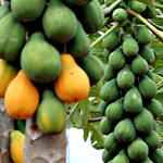 Researchers will produce true-breeding hermaphrodite papayas, an advance that will boost plant health, reduce growers' costs and their use of fertilizers and water.