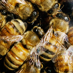 Bees in CCD hives have unusually high levels of ribosomal fragments, a symptom of infection with multiple picorna-like viruses, the researchers found.