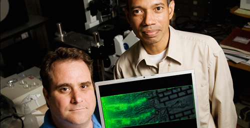 Doctoral student Scott Siechen, left, and mechanical science and engineering professor Taher Saif and their colleagues found that tension in axons is required for proper neuron signaling.