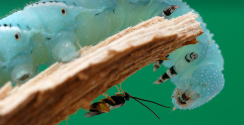 A parasitic Cotesia wasp preparing to oviposi onto a Manduca caterpillar.