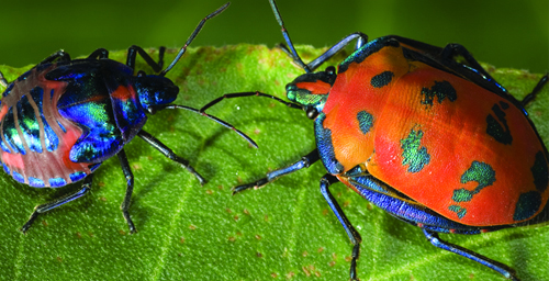 The adult cotton harlequin bug (Tectocoris diophthalmus) is orange and blue, while the juvenile is blue and orange.