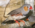 Expression of the egr1 gene is increased in the brain of a zebra finch after it hears a new song from a male of the same species.