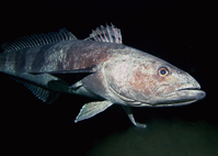 Dissostichus mawsoni, the Antarctic toothfish, is the largest of the notothenioid fish to inhabit the Southern Ocean.
