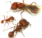 The three female castes of the Florida harvester ant, Pogonomyrmex badius. Clockwise from the top: new queen, major worker, minor worker.