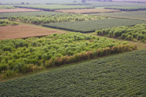 Corn, switchgrass and Miscanthus are grown side by side in experimental plots in Urbana, Ill. These fields, shown in 2006, were in their second year of growth.