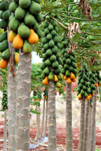 Papaya is one of the most nutritious fruits known. The new study sheds light on its evolution and that of other flowering plants.