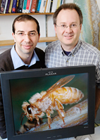 Entomology professor Charles Whitfield, right, and postdoctoral researcher Amro Zayed, analyzed specific markers of change in the genes of honey bees in Africa, Europe, Asia, and the Americas. They also focused on geographic regions - such as Brazil in South America - where multiple honey bee invasions had occurred.