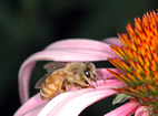 In repeated invasions of a new territory, the honey bee, Apis mellifera, can benefit from the genetic endowment of those bees that arrived in earlier territorial expansions.