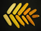Maize has considerable natural variation in levels of provitamin A, the precursors that are converted to vitamin A upon consumption. These ears of maize are part of a collection of lines derived from an analysis that identifies different forms of a gene that influences concentrations of provitamin A.