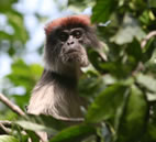 The red colobus monkey is in decline in forest fragments in western Uganda. U. of I. researchers found that forest fragmentation increases the burden of infectious parasites on animals already stressed by disturbances to their habitat.