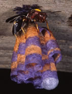 A female paper wasp (Polistes metricus) on her recently founded nest, in this case constructed in the laboratory from source materials in University of Illinois school colors. The first of her daughters will emerge as a worker from the cocoon at lower right, and then the foundress will become queen of the developing wasp society.