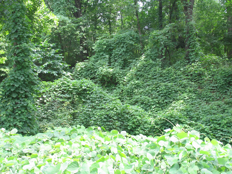 Many People Are Not Aware That Kudzu Has Been Found In Illinois Said George Czapar An Extension Educator At The Springfield Center Of