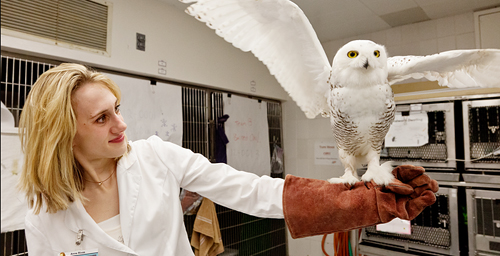 Qigiq, an injured snowy owl, shows off his progress to Anne Rivas, the senior manager at the UI Wildlife Medical Clinic, who has been in charge of his care since he arrived at the clinic in January.
