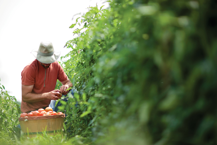 Former Sustainable Student Farm manager Zack Grant harvests the fruits of student labor.