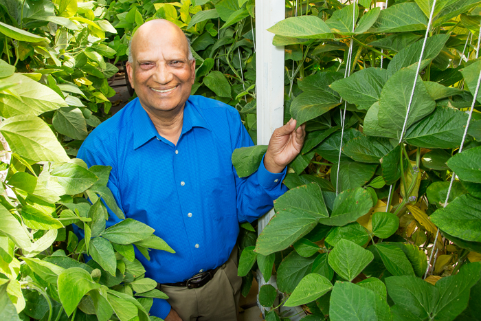 Research geneticist Ram Singh crossed soybean with a related wild, perennial plant from Australia, introducing new genetic diversity to the soybean plant.