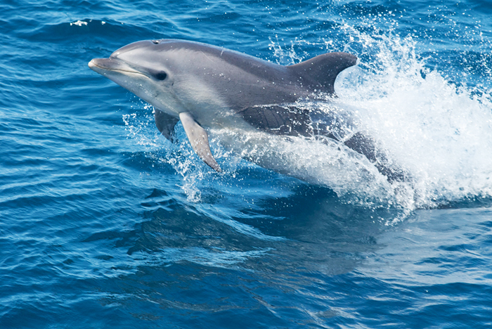 Bottlenose dolphins found on Gulf of Mexico beaches after the 2010 Deepwater Horizon oil spill had severe lung and adrenal gland abnormalities consistent with petroleum product exposure, researchers report.