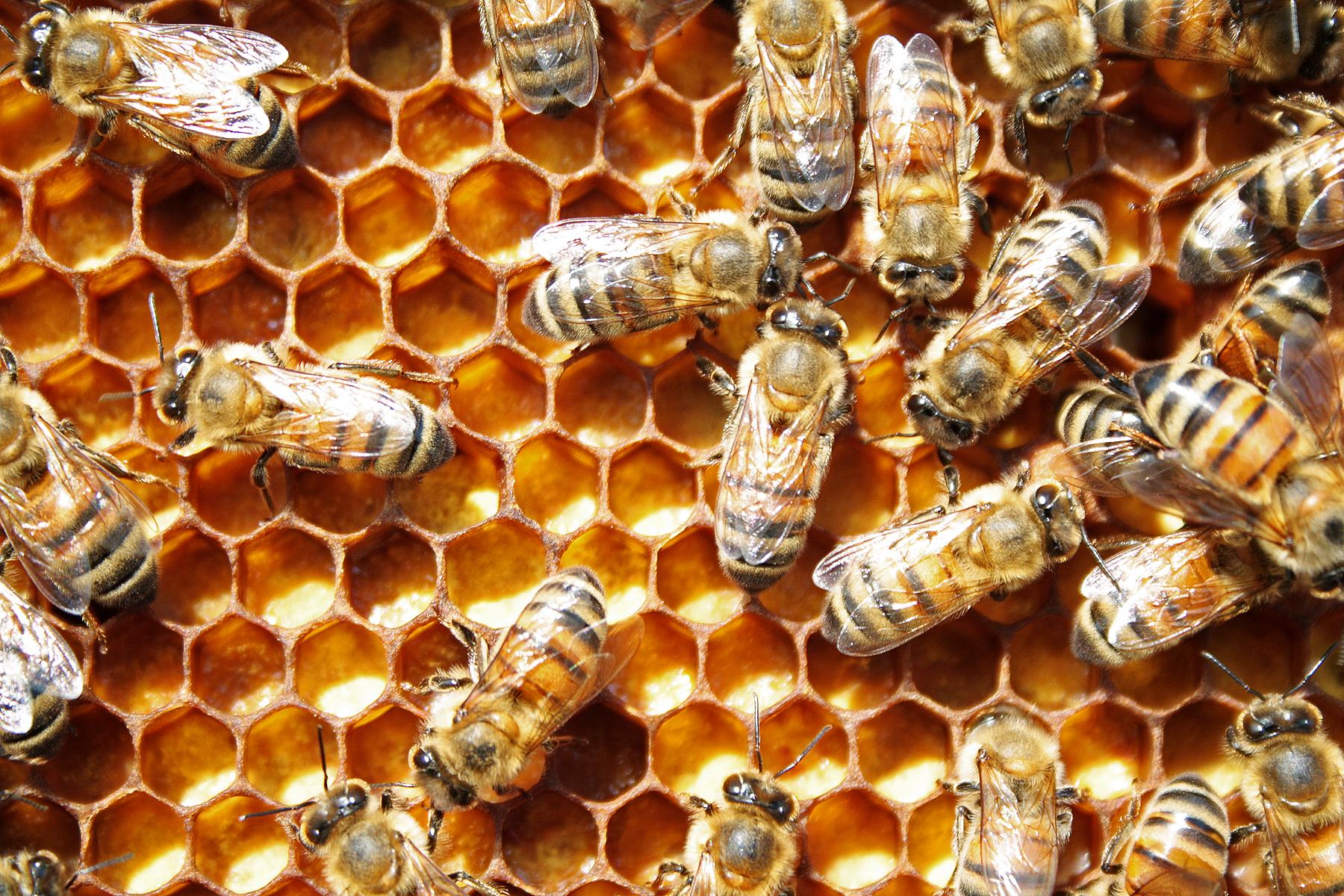 study identifies chemical in diet that determines a honey bee u0027s