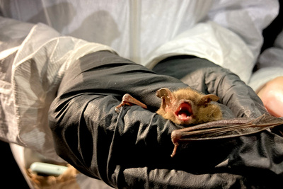 A gloved researcher holds an Eastern red bat, Lasiurus borealis.