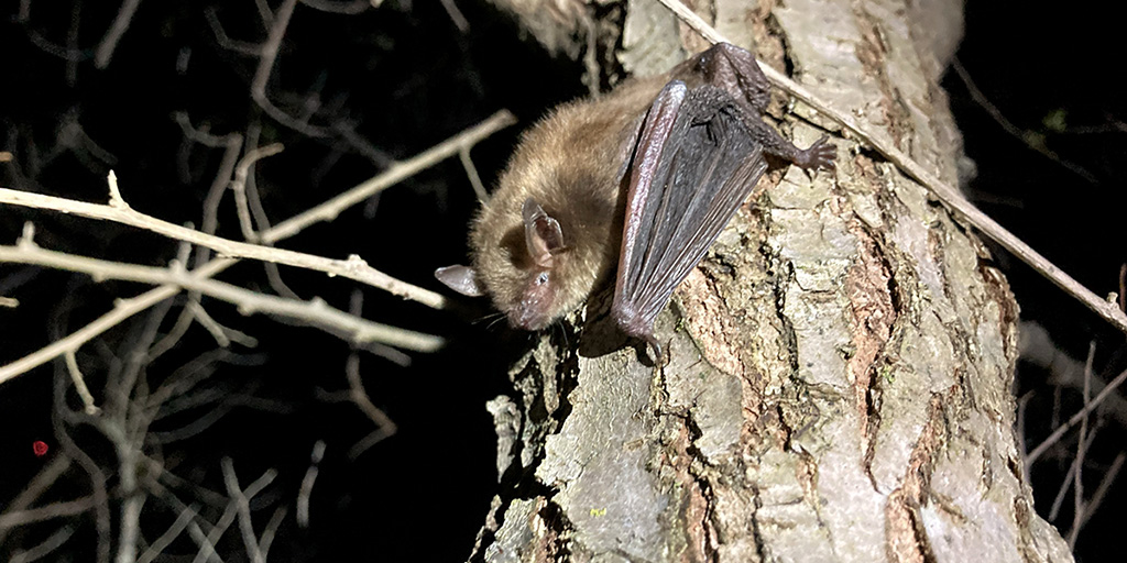 A released big brown bat, Eptesicus fuscus, clings to a tree.