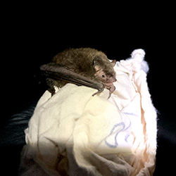A recently released bat clings to a white cloth.