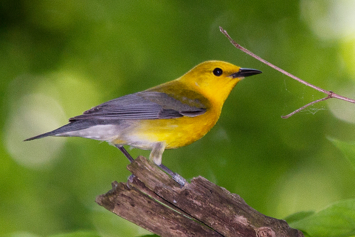Photo of a female prothonotary warbler, with her yellow and gray plumage.
