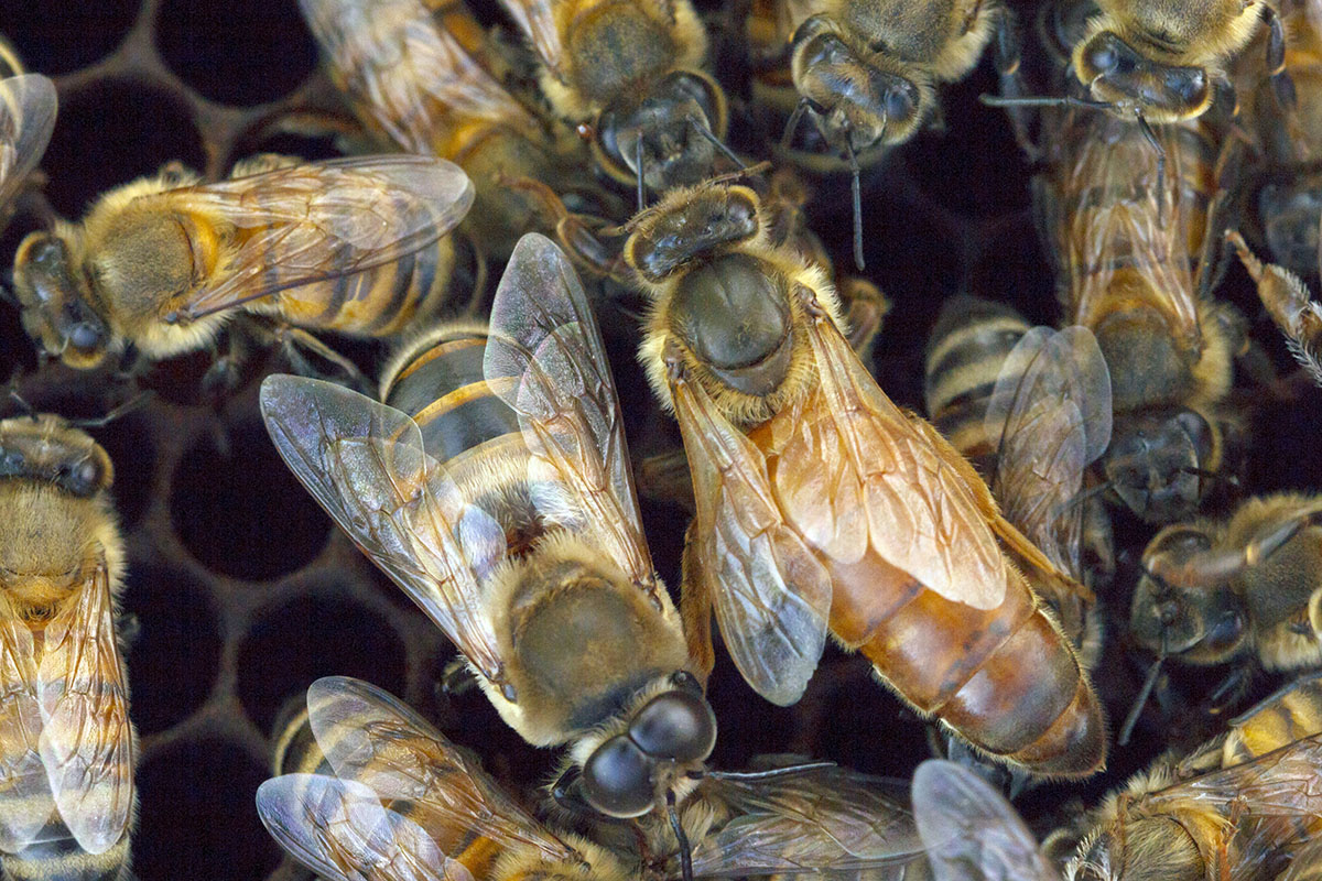 Image shows a few Africanized honey bees in a hive.