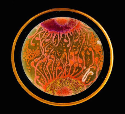 Nesterenkonia, one of the microbial species used in this petri dish art, has been found in other high-altitude lakes in Argentina.