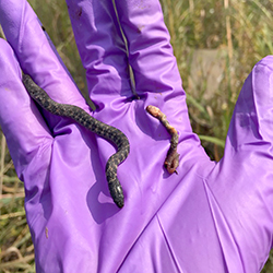 Unearthing a fossorial snake