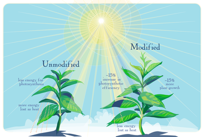 As computer models predicted, genetically modified plants are better able to make use of the limited sunlight available when their leaves go into the shade, researchers report.