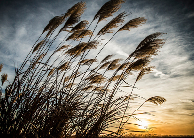 The sun sets behind miscanthus