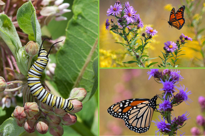Monarch caterpillars feed exclusively on milkweeds, while adults consume the nectar of milkweeds and many other flowering species.