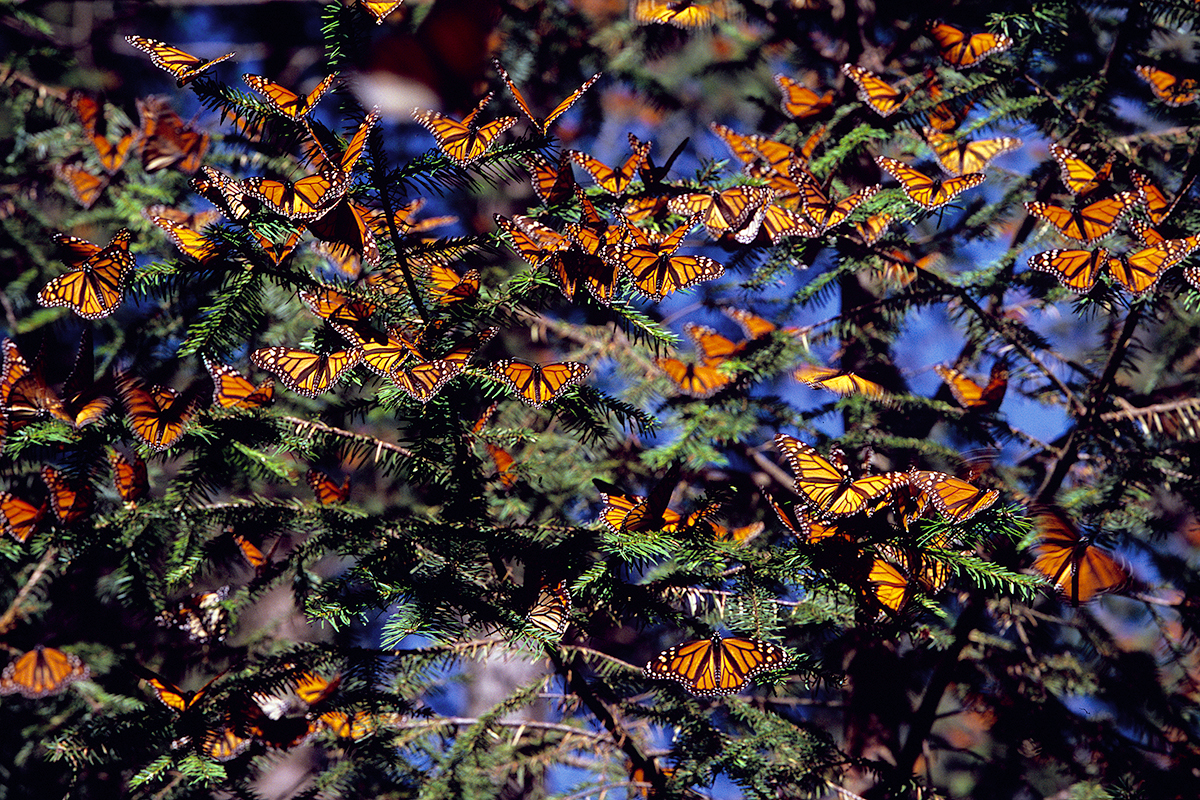 report milkweed losses may not fully explain monarch butterfly