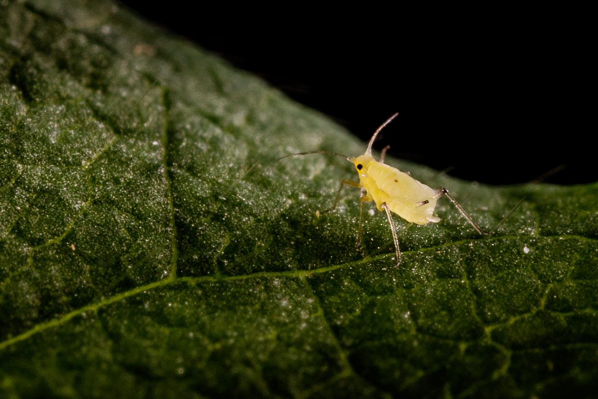 The soybean aphid is tiny, about the size of a pollen grain, but an infestation can cause soybean losses of up to 40 percent, studies reveal.