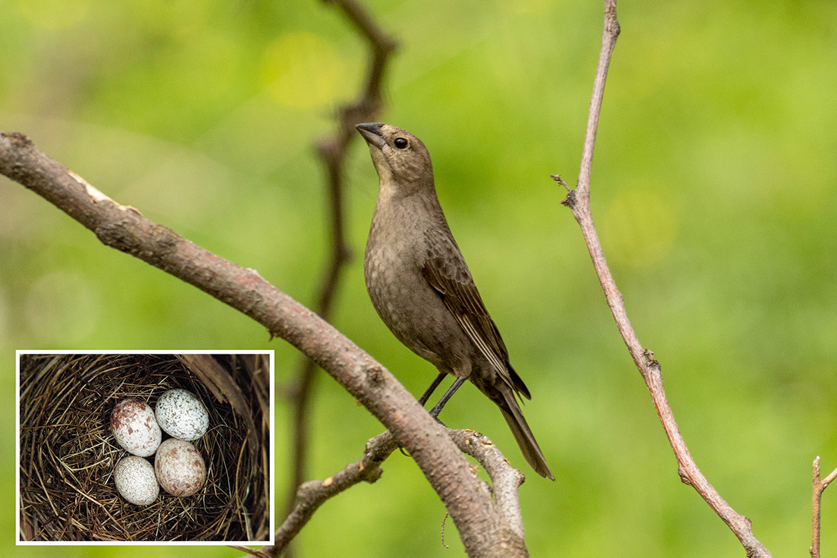Cowbird moms pay attention to the size of eggs in the nests they choose for egg-laying, a new study finds. Inset: Two cowbird eggs in the nest of a northern cardinal, with two (larger) eggs of its own.