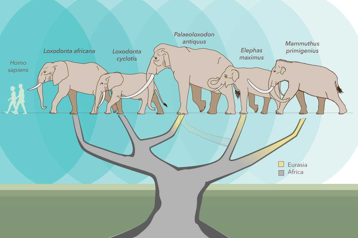 A new study reconfigures the elephant family tree, placing the giant extinct elephant Palaeoloxodon antiquus closer to the African forest elephant, Loxodonta cyclotis, than to the Asian elephant, Elephas maximus, which was once thought to be its closest living relative.