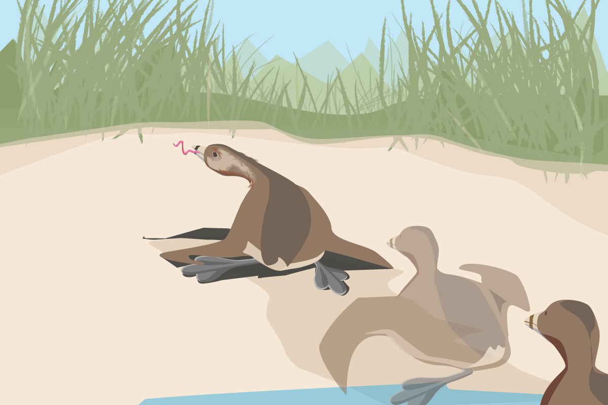 A pied-billed grebe, a bird that is built for swimming, not walking, scoots up a mud bank to catch an earthworm, a hunting behavior never before described in the scientific literature.