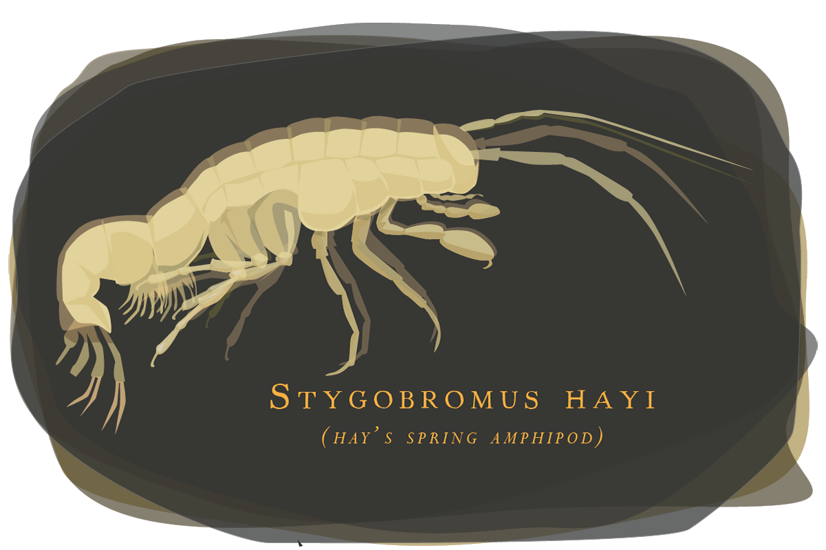 Researchers found evidence that a tiny, blind, endangered crustacean still inhabits some groundwater habitats in Washington, D.C.'s Rock Creek Park.