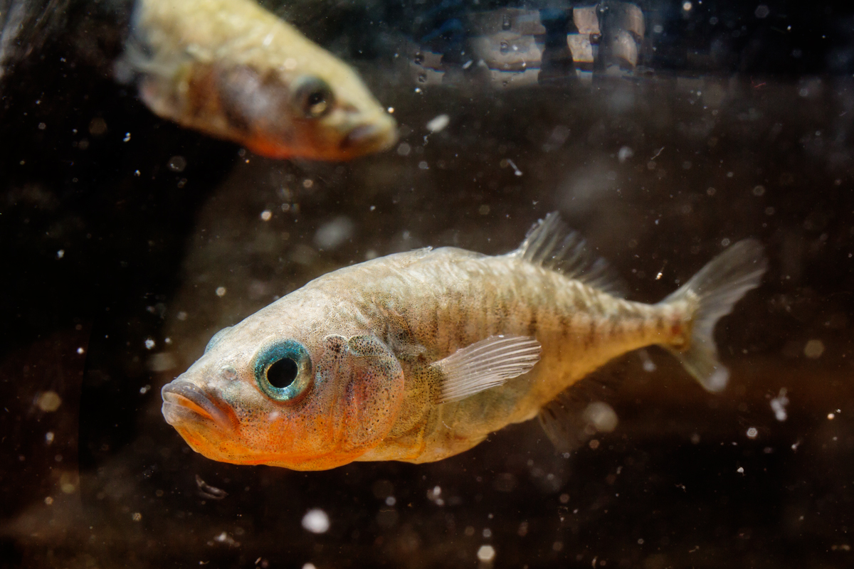 A new study measured robust changes in brain gene expression for up to two hours after a three-spined stickleback fish encountered another fish.